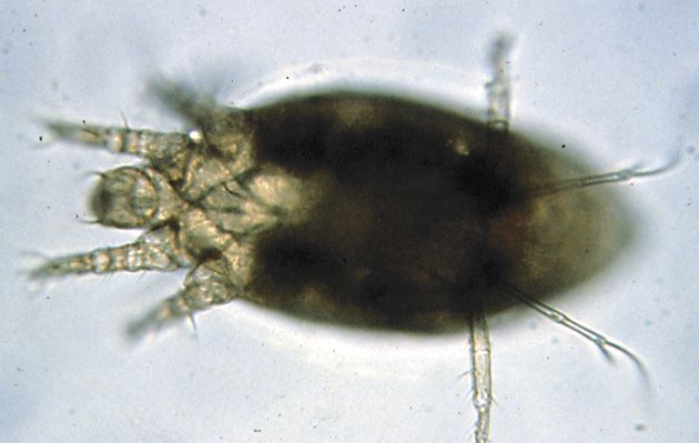 Ácaro do enfezamento (Steneotarsonemus pallidus)
