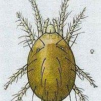 Ácaro do morangueiro