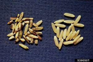 Cárie-do-arroz