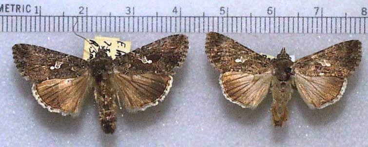 Trichoplusia