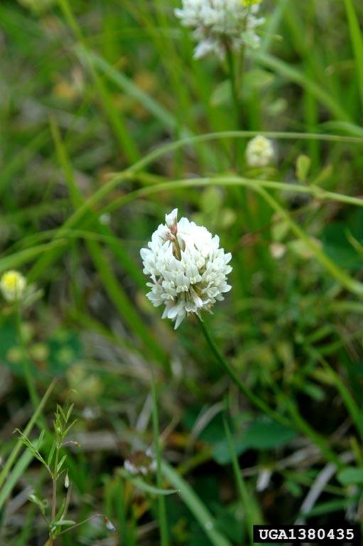 Trevo branco