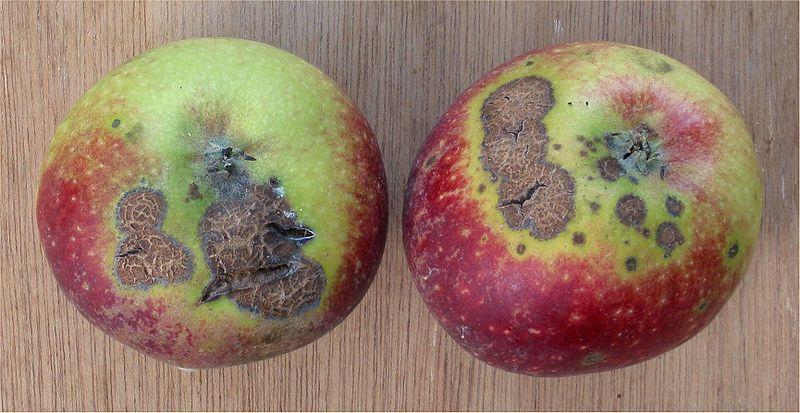 Sarna da maçã