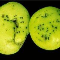 Mancha-bacteriana