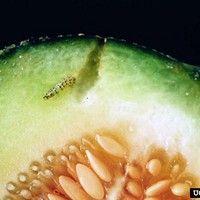 Broca dos frutos